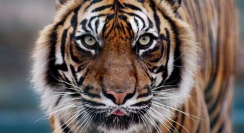 tiger-dirk-freder-isp.jpg